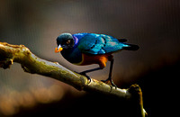 Angry Bird (Superb Starling)
